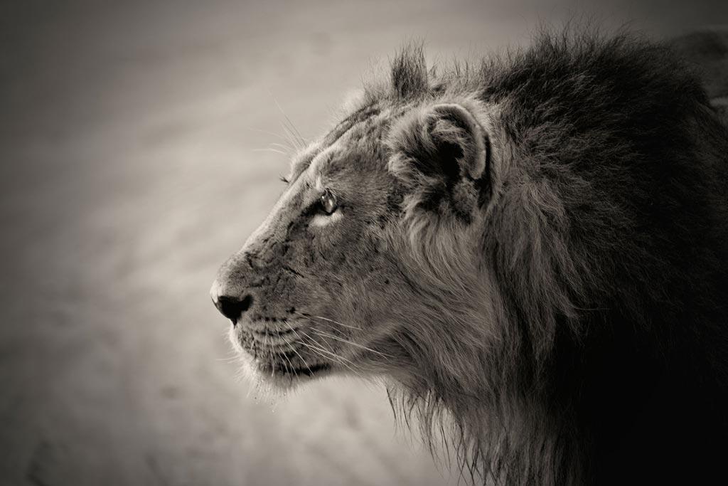 lionmale5-thumb