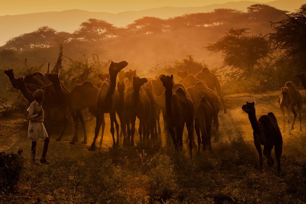 camels5-thumb